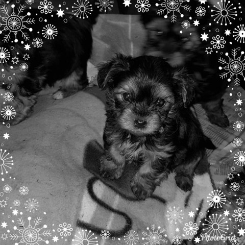 Pepsy, chiot Yorkshire Terrier