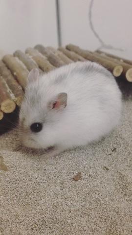 Perla, rongeur Hamster