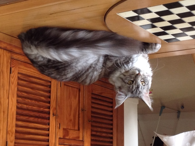 Perle, Maine Coon