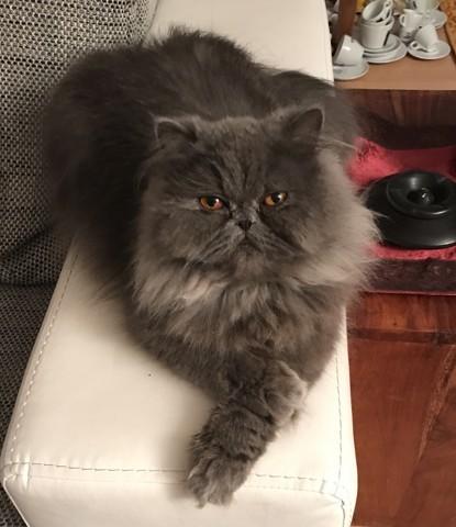 Mycat, chat Persan