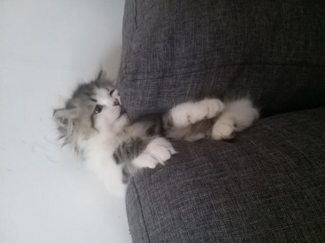 Pepito, chaton Persan
