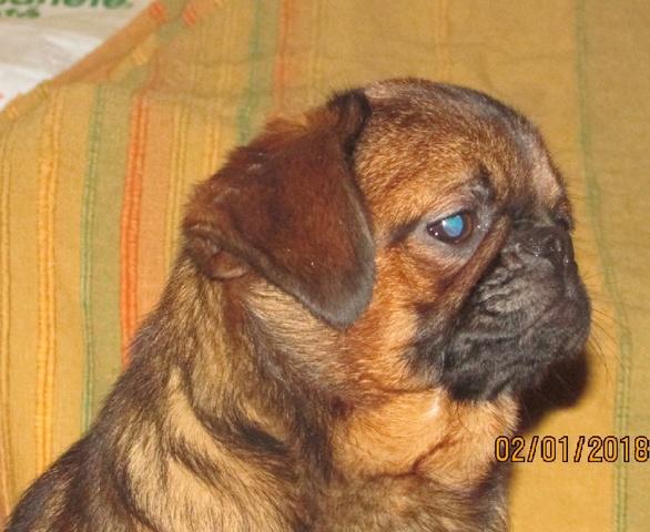 Nabyla Du Hameau Jouas, chien Petit brabançon
