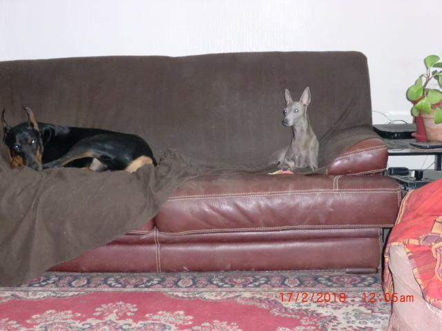 Harko, chien Petit Lévrier italien