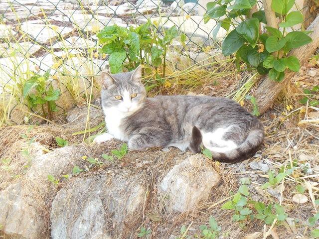 Phibie, chat Norvégien