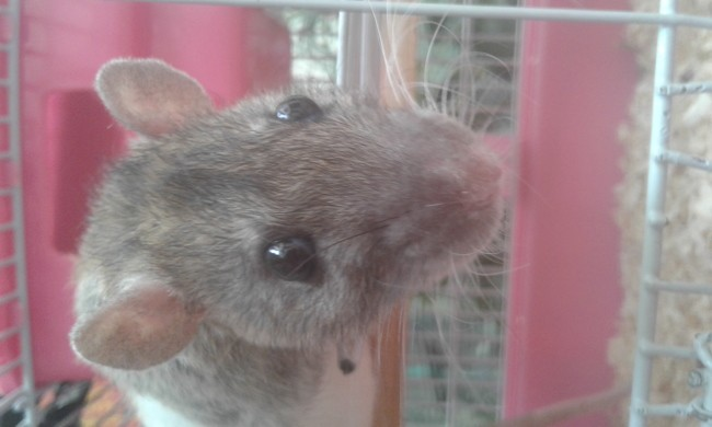 Pii, rongeur Rat