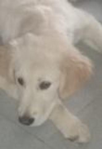 Pilou Patou, chien Golden Retriever
