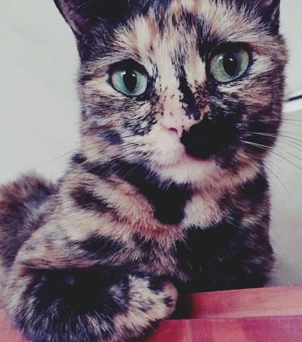 Pina, chat Européen