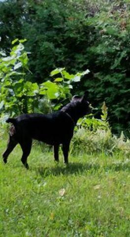 Coquine, chien Pinscher