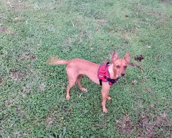 Laika, chien Pinscher