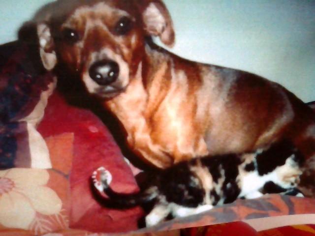 Rouky, chien Pinscher autrichien à poil court