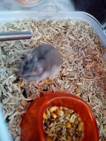 Pistache, rongeur Hamster