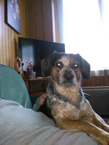 Pitou, chien Beagle