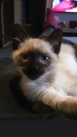 Pixel, chaton Siamois
