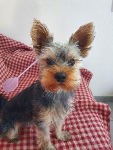 Pixel, chien Yorkshire Terrier