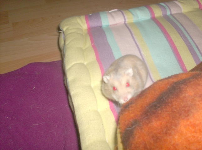 Plume, rongeur Hamster