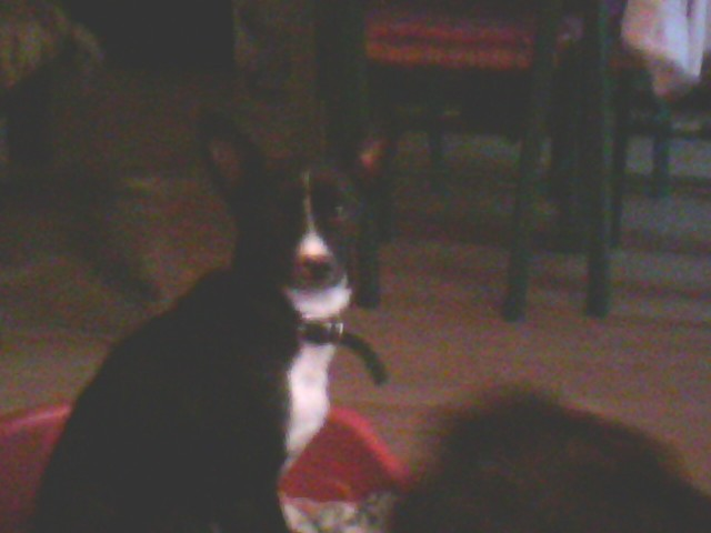 Benji, chien Podengo portugais