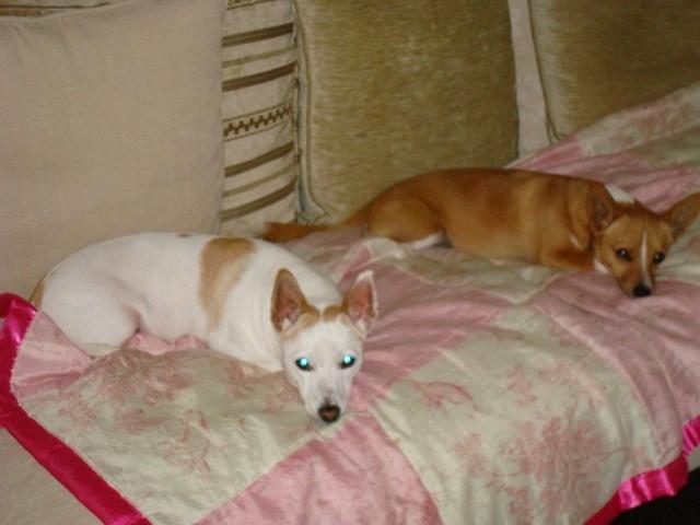 Gala, chien Podengo portugais