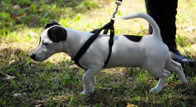 Polka, chien Jack Russell Terrier