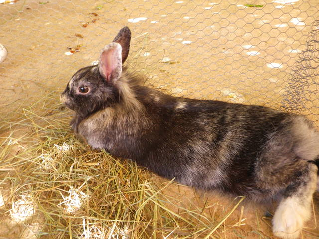 Pomme, rongeur Lapin