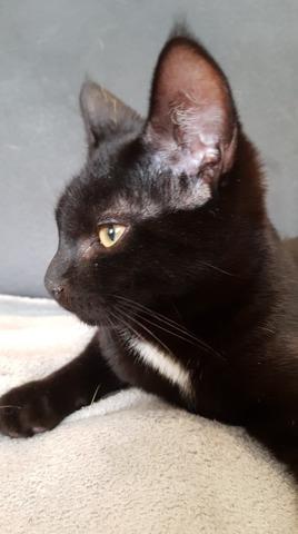 Pompon, chat Siamois