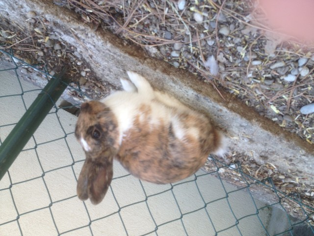 Pomponette, rongeur Lapin