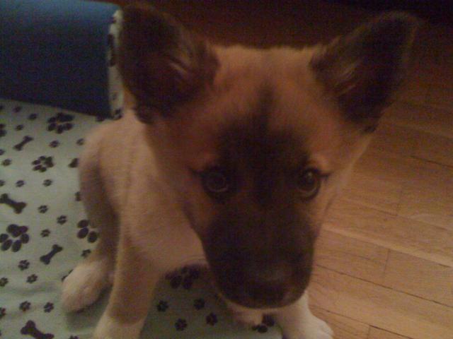 Pookie, chien Berger d'Islande