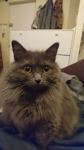 Popette, chat Chartreux