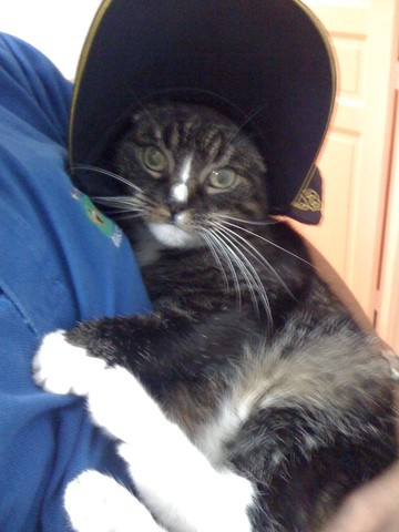 Poupoussette, chat American Wirehair