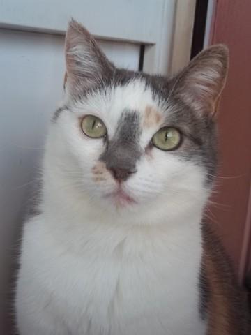 Pralinette, chat Européen