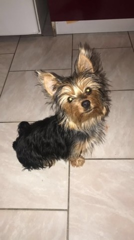 Prunelle, chiot Yorkshire Terrier