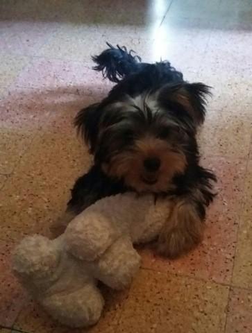 Pupette, chien Yorkshire Terrier