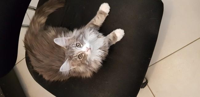 Qhaleesi, chat Norvégien