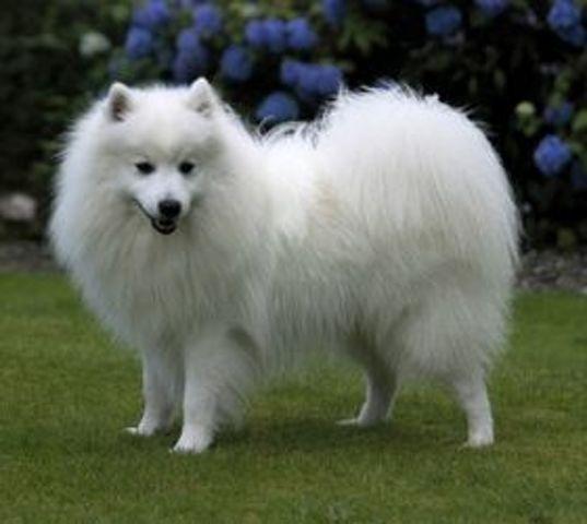 Queli, chien Spitz japonais