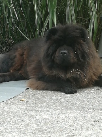 Quoda, chien Chow-Chow