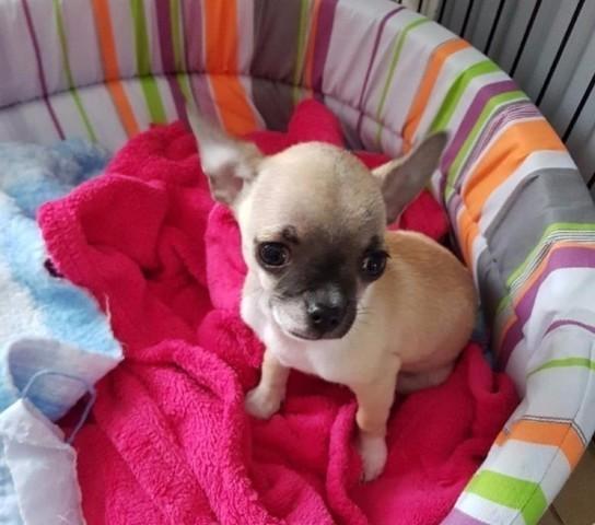 Rach, chiot Chihuahua