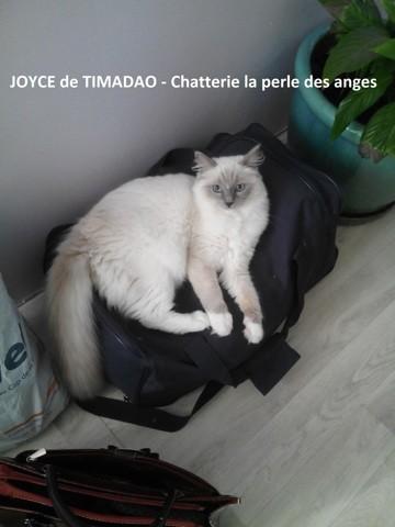 Joyce, chat Ragdoll