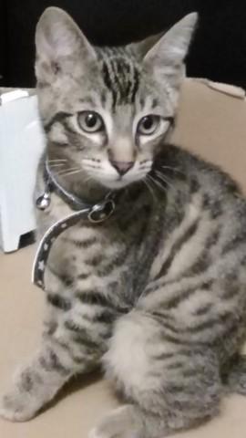 Rajah, chaton Savannah