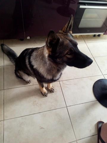 Ralph, chien Berger allemand