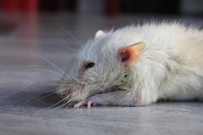 Rémi, rongeur Rat