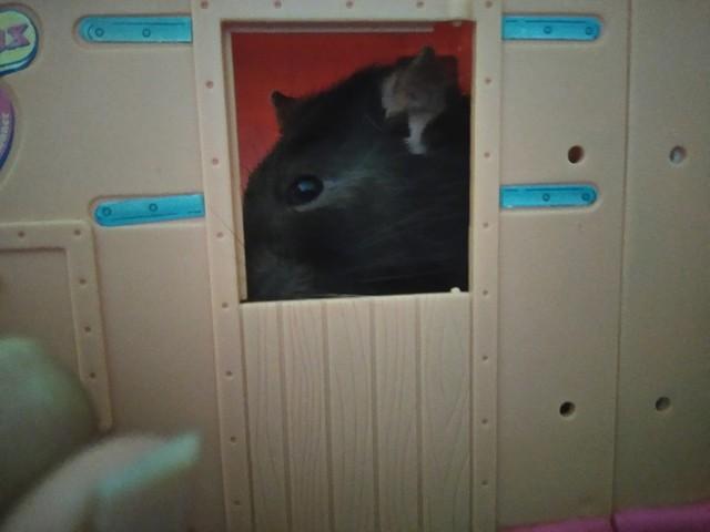 Arthur, rongeur Rat