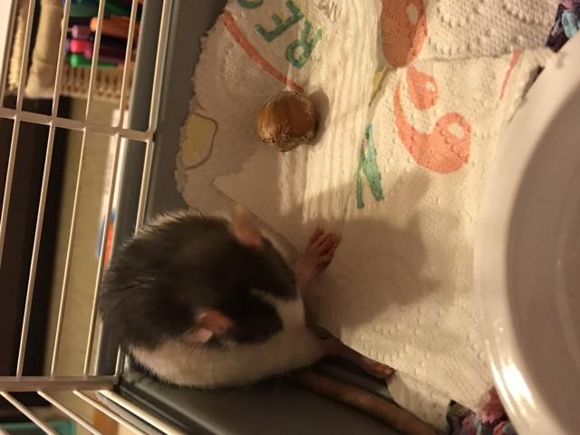 Lilo, rongeur Rat