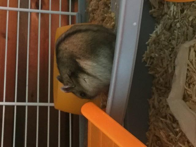 Réglisse, rongeur Hamster