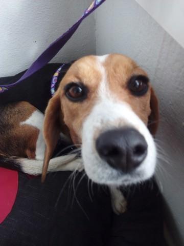 Rena, chien Beagle