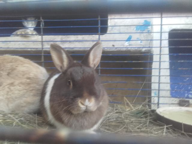 Robine, rongeur Lapin