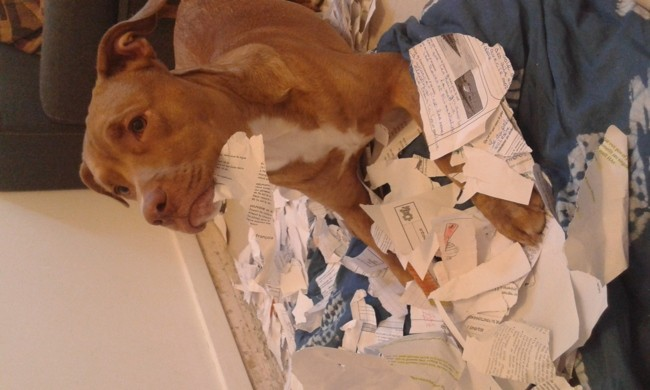 Rocky, chien American Staffordshire Terrier