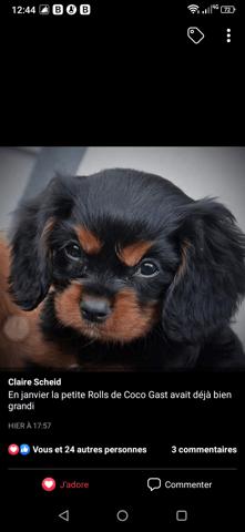 Rolls, Cavalier King Charles Spaniel