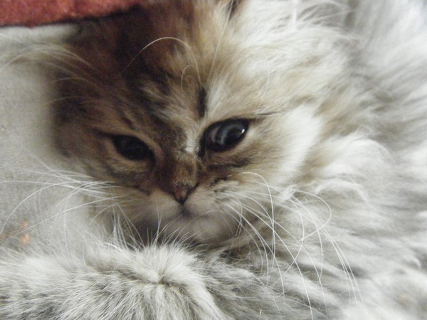 Roméo, chat Persan