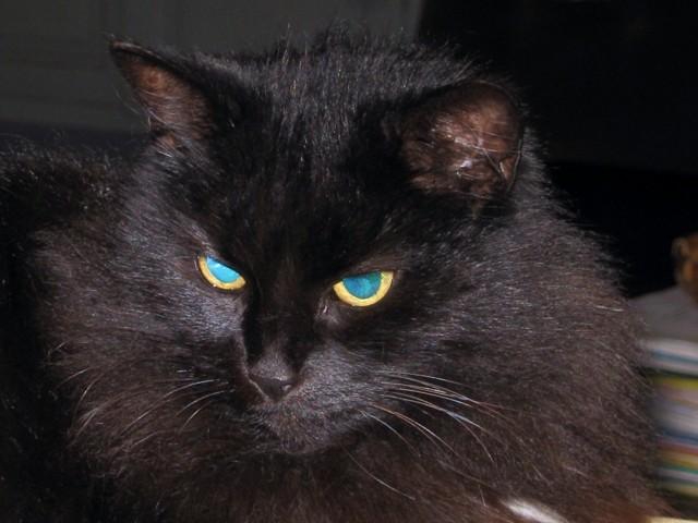 Romy, chat Européen