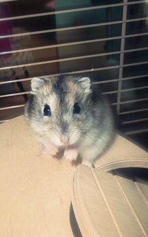 Izi, rongeur Hamster