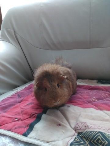 Rosalie, rongeur Cochon d'Inde